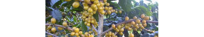 ผลกาแฟ Arabica สีเหลือง